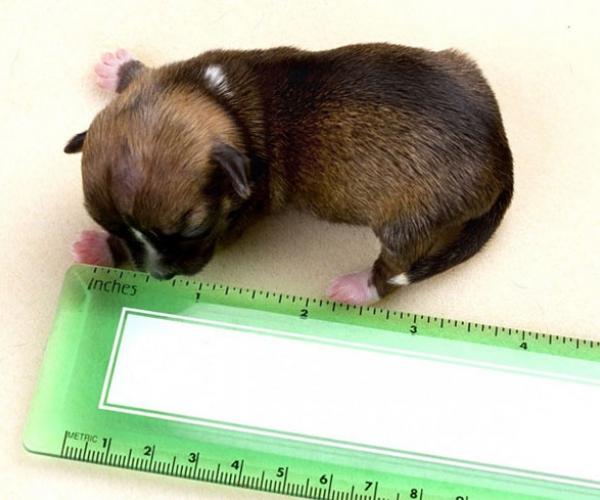 В США родилась самая маленькая собака в мире