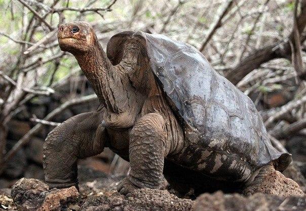 Умер последний представитель Абингдонских слоновых черепах