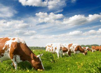Лучшая корова Беларуси