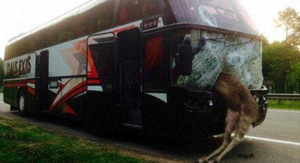 автобус сбил лося
