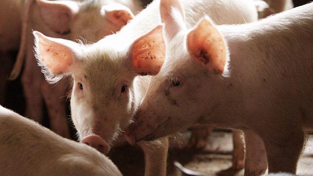 Поголовье свиней