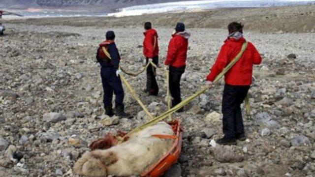 Увлекательная экспедиция в Арктике прекратилась, как только посреди ночи белый полярный медведь забрался в палатку к спящему подростку, вытащил его оттуда и нанес страшные повреждения.