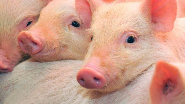 Безопасность на свинокомплексах