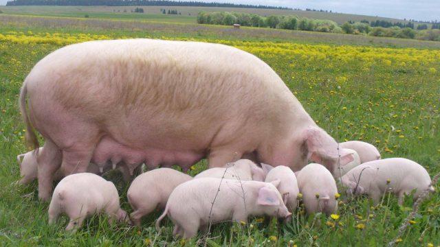 Объемы свинины