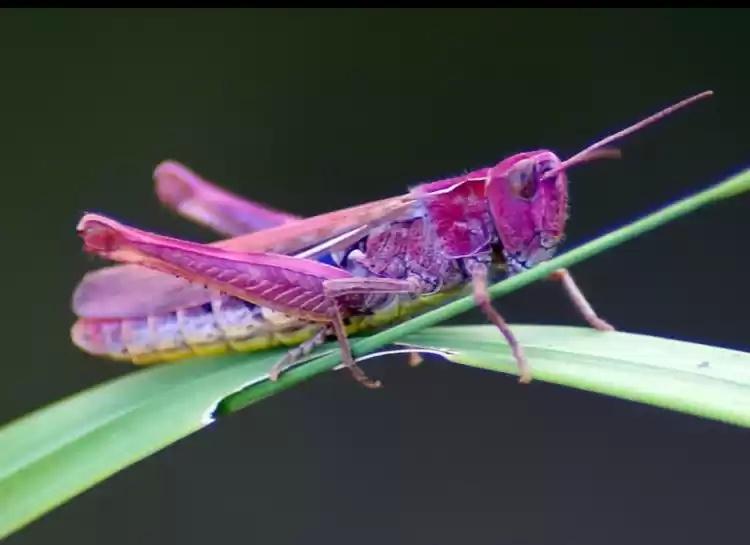 кузнечик розовый фото