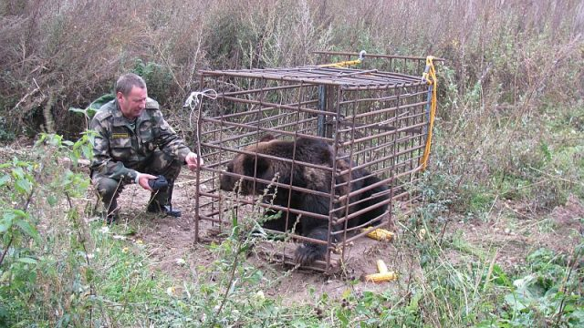 медведь в неволе