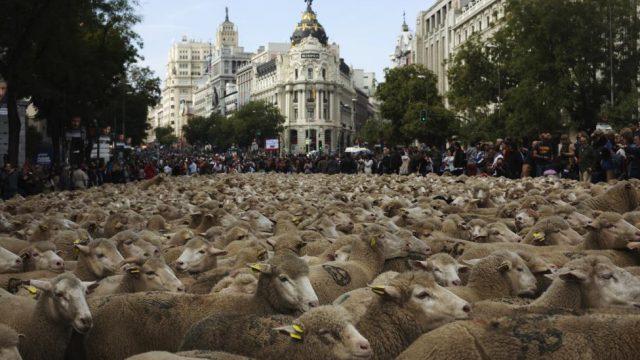овцы пасутся в Мадиде