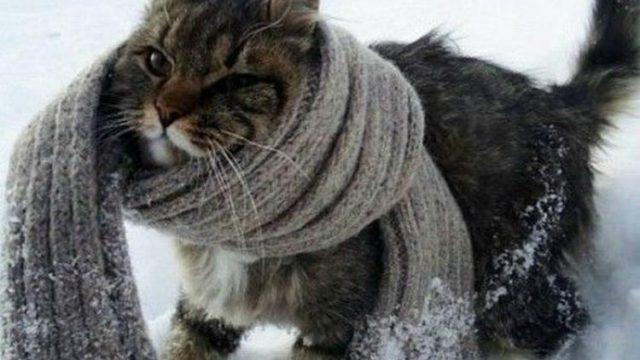 кот с шарфом