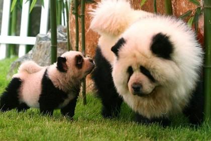 разукрашенных собак выдавали за панд