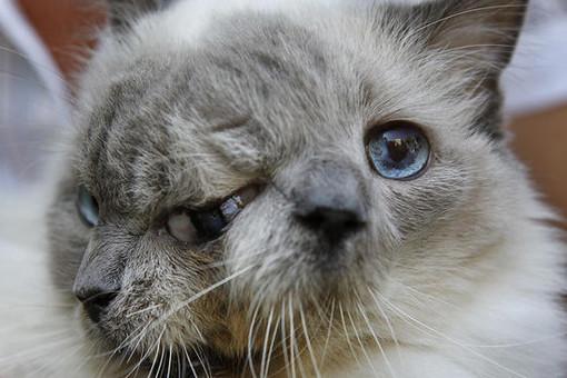 The Telegraph : В США умер кот с врожденными дефектами, занесенный в Книгу рекордов Гиннесса