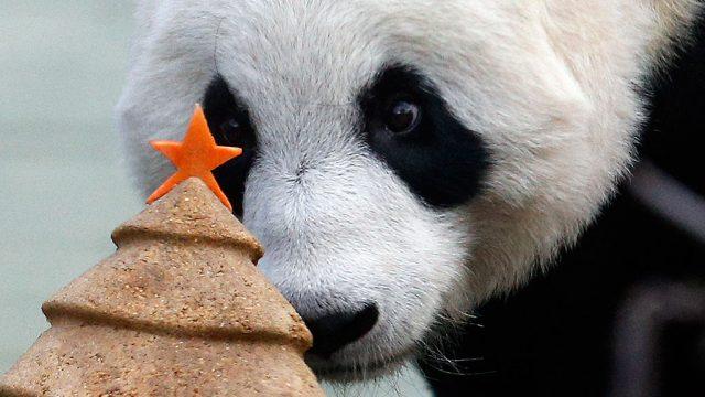 эдинбургская панда
