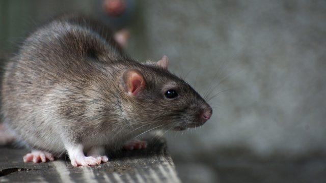 В Бресте на остоновке девочку укусила крыса