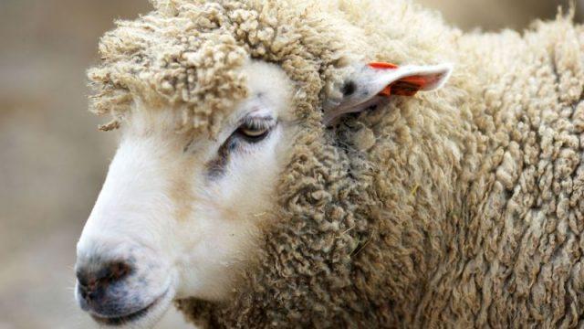 В Вороновском районе мужчина зарезал тринадцать соседских овец