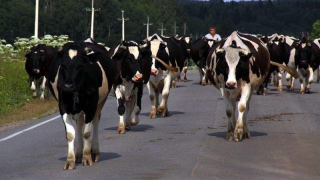Россиянин хотел вывезти из Беларуси 27 коров незаконным путем