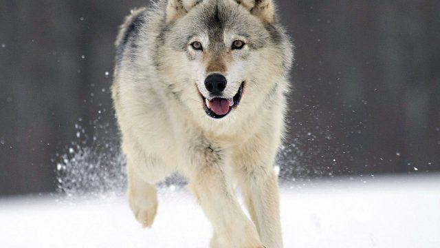Волк в деревне
