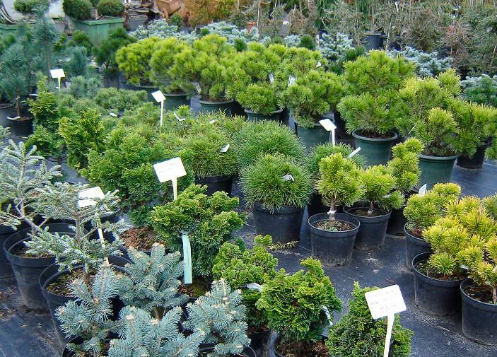 В Бресте задержали саженцы туи, пихты, слив и хвойных деревьев на 250 млн. бел. рублей