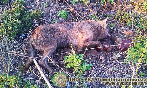 В Хойникском районе волк напал на жителей деревни - милиционер застрелили животное