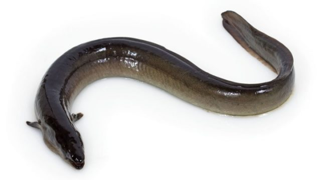 На Мяделе задержали двоих рыбаков, выловивших 21 угря