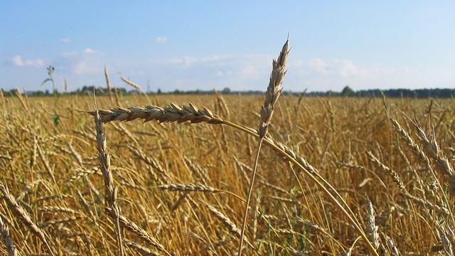 В Могилёвской области засуха повредила 27 тыс. га зерновых