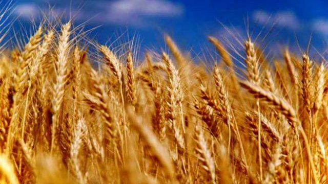 Засуха стала причиной гибели 30% посевов зерновых в Гомельской области