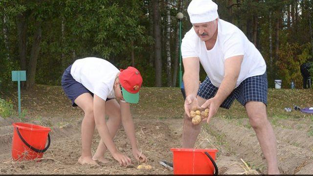 Лукашенко и Николай копают картошку
