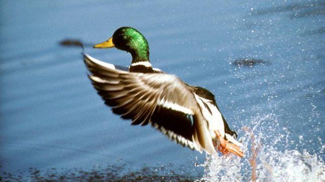 На водоплавающую дичь можно будет охотиться с 22 августа