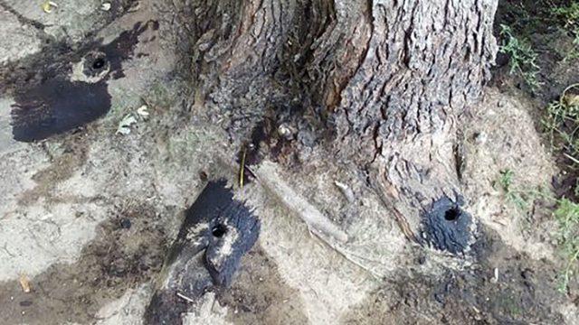 В Минске неизвестный с помощью дрели и масла решил расправится с деревом