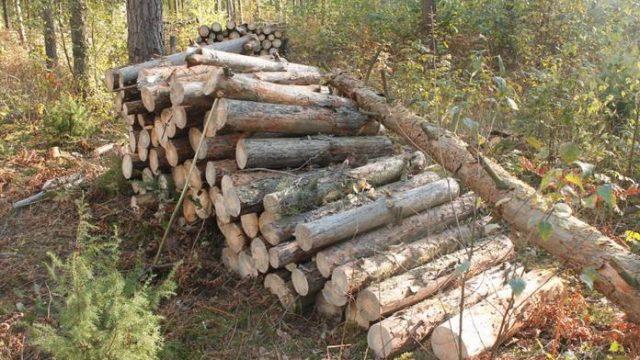 В Гродненской области дерево насмерть придавило лесника