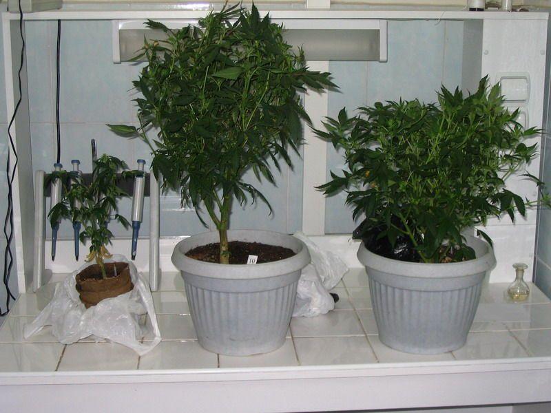 марихуана в квартире