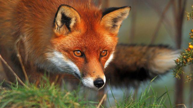 Из-за бешеной лисы вчасти Пинска ввели карантин