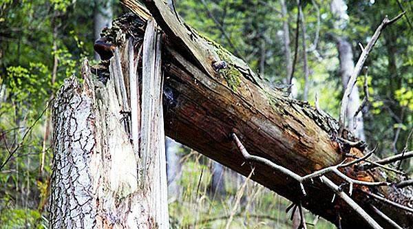 Дерево сломалось иупало надвижущийся бензовоз вблизи Минска
