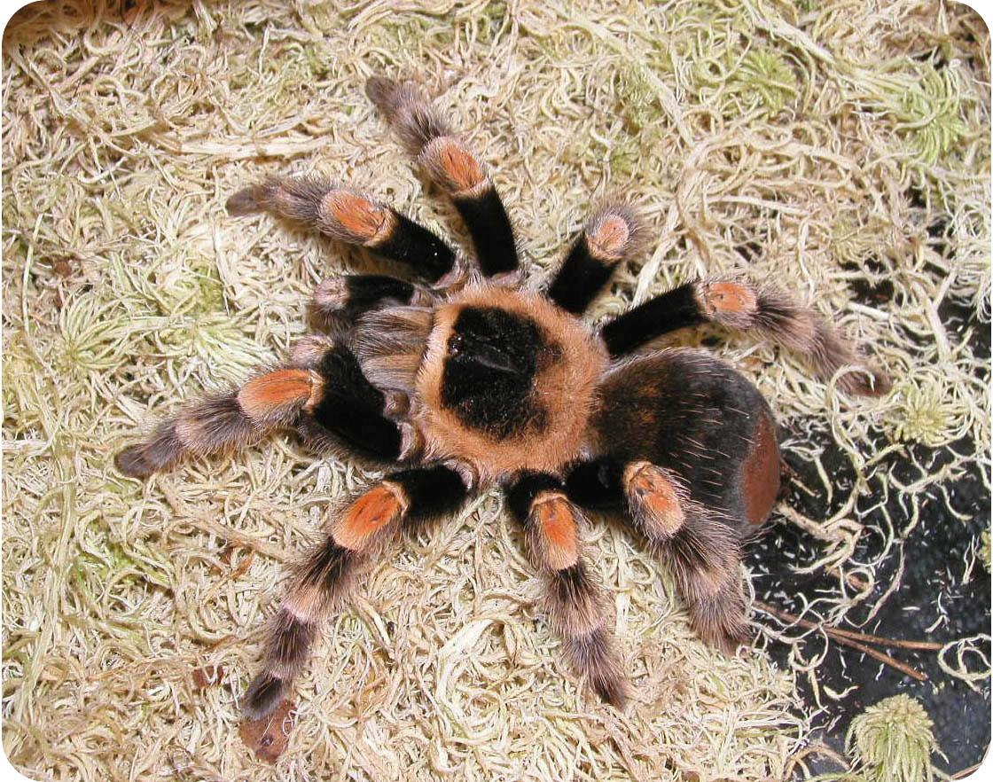паук-птицеед
