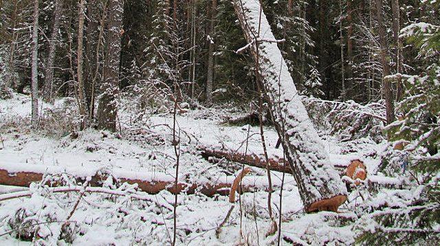 Отец троих детей умер при заготовке древесины вКобринском районе