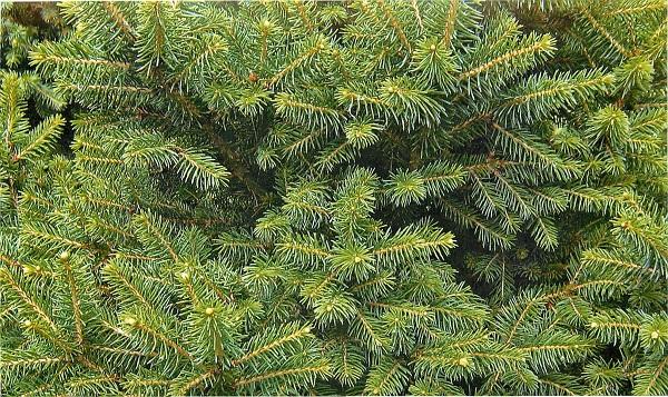 ВРакове перед Новым годом украли елку счастного подворья