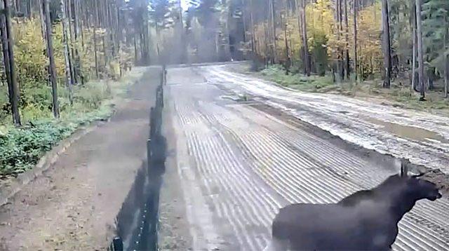 Размещено видео незаконного пересечения национальной границы республики Белоруссии — Лось-нарушитель