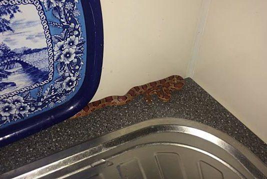 Змея в квартире