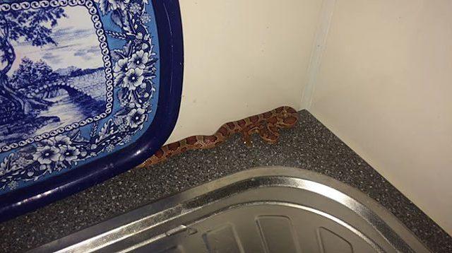 МЧС: ВСолигорске вквартиру заползла змея
